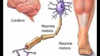 sistema nervioso y periferico