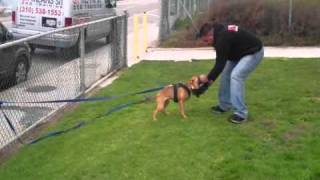 Am Staff Dog Training Los Angeles