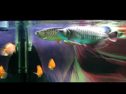 5 cá rồng trong bể cộng đồng của Pro Thiepvatm