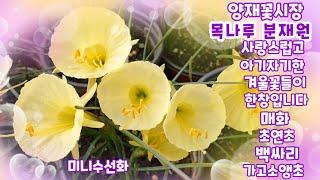 양재꽃시장에 다녀왔어요 넘나 예쁜 겨울꽃들 구경하세요~…