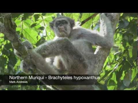 Northern Muriqui -