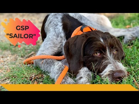 """German Wirehaired Pointer """"Sailor"""" 