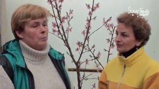 Как вырастить персик в кадочной культуре. Сайт