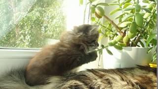 Сибирская кошечка черного тигрового окраса, 1,5 месяца