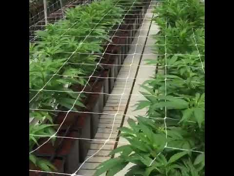 PotValet Legal Commercial Marijuana Grow
