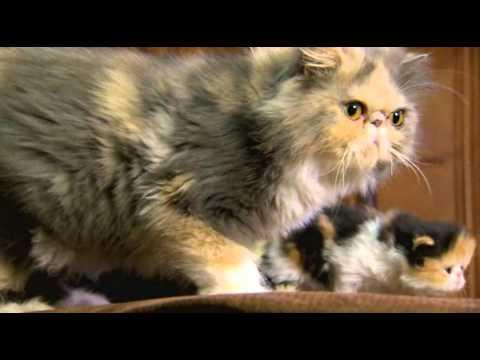 علائم عمومي انگل گوش در گربهها