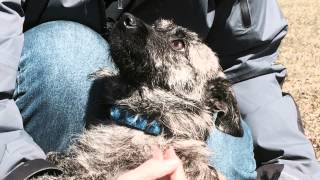 Daisey, Cairn Terrier Mix Pup