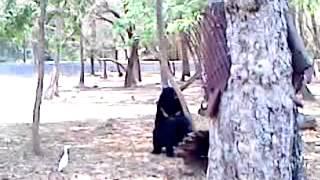 Bear Sex @ Mysore Zoo , India