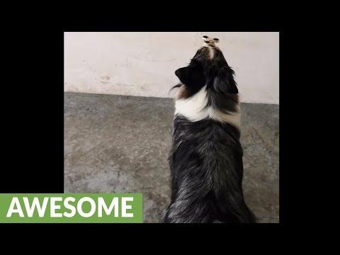 Talented dog impressively balances fidget spinner on nose