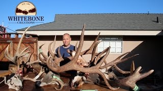 HOW TO CLEAN A MONSTER BULL ELK SKULL