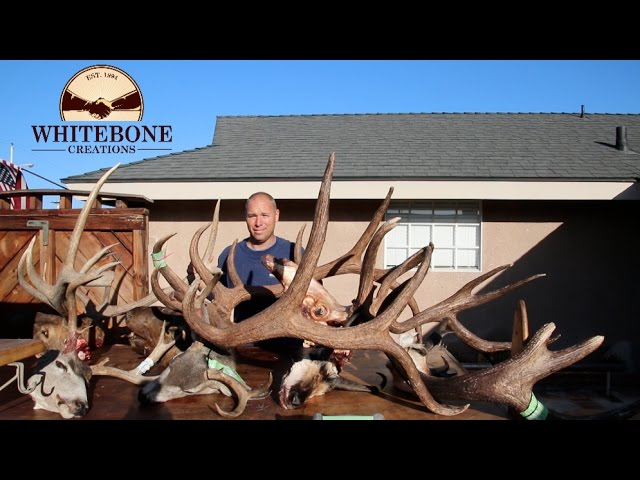 HOW TO CLEAN A MONSTER BULL ELK SKULL GRAPHIC