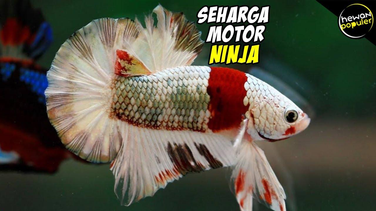 5 Ikan Cupang Termahal Di Dunia Harganya Bikin Melongo