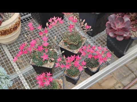 Цветение Graptopetalum bellum