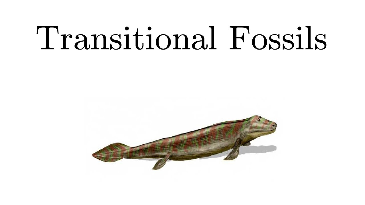 transitional fossils as proof of evolution Paleontologists have discovered numerous transitional fossils support darwin's theory of natural selection.
