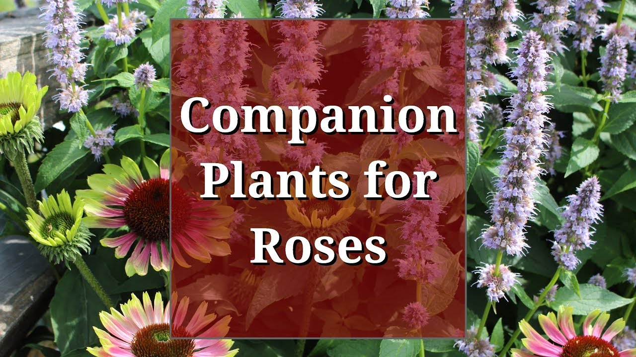 Companion Plants For Roses Youtube