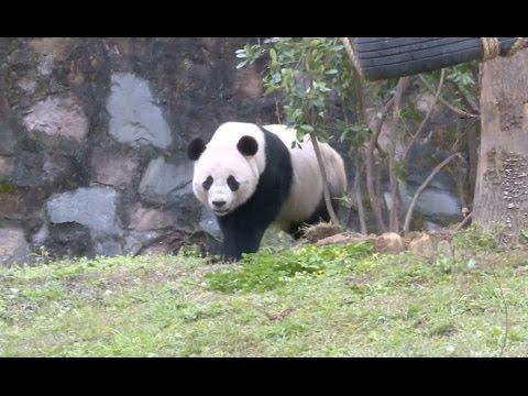 US born Panda Bao Bao Begins New Life in Southwest China