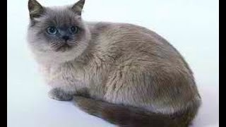 Animal Planet  :  Cats 101 ~ Colorpoint Shorthair