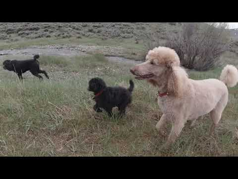 4 standard poodles including 9 week old silver puppy on a hike