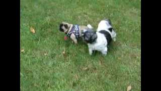 Blind Shih Tzu Stevie & Kiwi (pug/chi Mix)