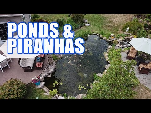 Piranhas? And a Pond? : Greg Wittstock, The Pond Guy