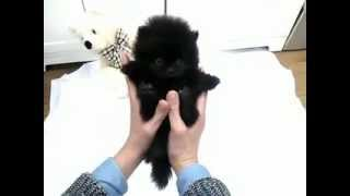 Baby Black Jack Platinum Quality Pomeranian Teacup Puppy For Sale! Available!