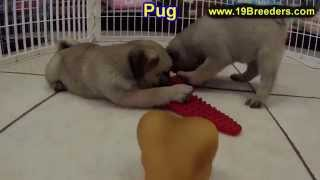 Pug, Puppies, For, Sale, In, Minneapolis, Minnesota, Mn, Inver Grove Heights, Roseville, Cottage Gro