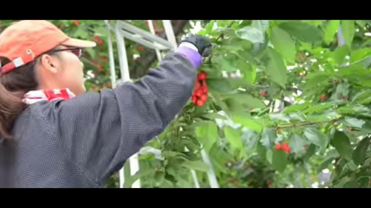 Cherry Termahal Di Dunia Info Pertanian Youtube