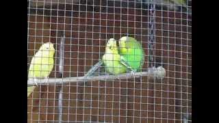 Попугаи - Любовь, Секс, Ревность