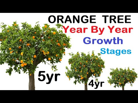 Orange tree year wise growth stages