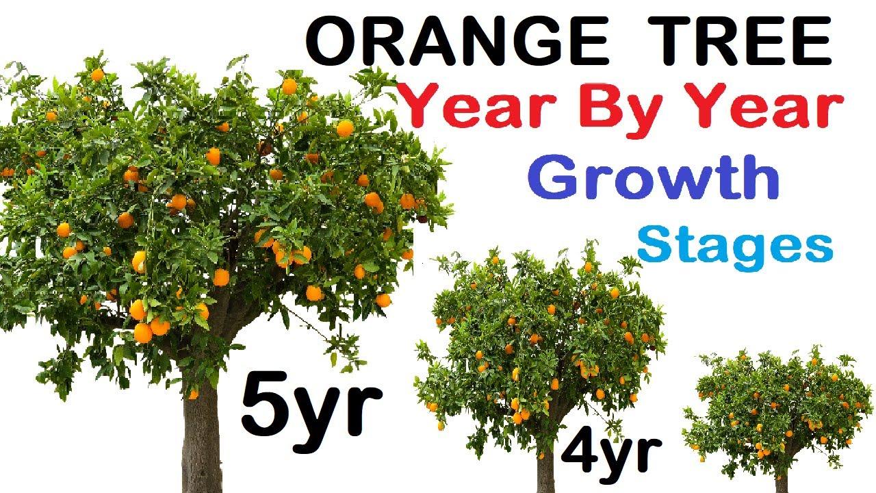 Orange tree year wise growth stages - YouTubeYouTube
