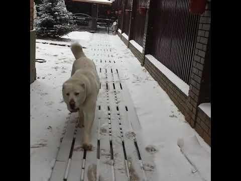 Central Asian Shepherd Dog (Alabai). Среднеазиатская овчарка.