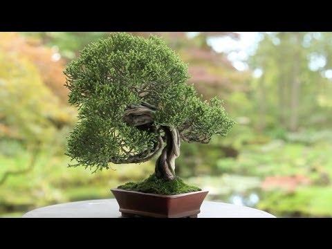 Bonsai tree species
