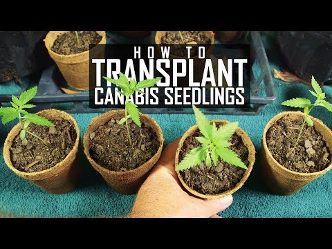 Seeds, Soil & Sun: How to Grow Cannabis (#2 Transplanting Seedlings)