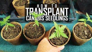 Seeds, Soil & Sun: How to Grow Cannabis (#2 Transplanting Seedlings)