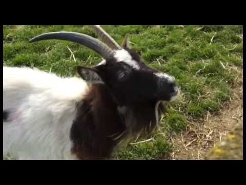 BAZZINGA - Alice the Bagot Goat
