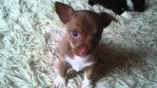 Puppies Essex