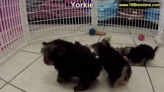 Yorkshire Terrier, Puppies, For, Sale, In, New York, City, Ny, Albany, State, Up