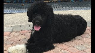 Magellan 1 year old Portuguese Water Dog- Before and after video- Off Leash K9 Training Sarasota
