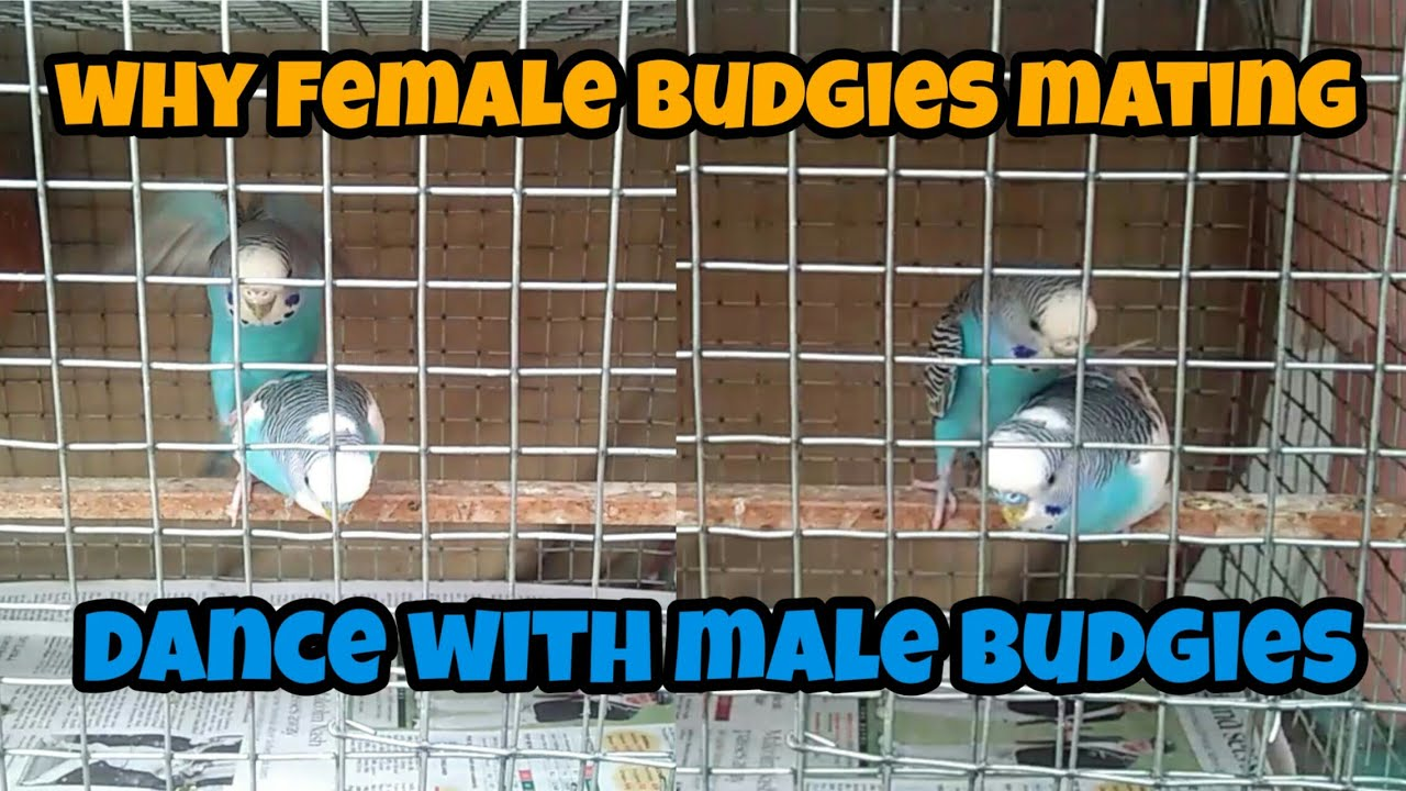 Why female budgies mating with male budgies in தமிழ்