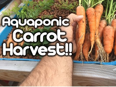 Harvesting Carrots - (Aquaponics)