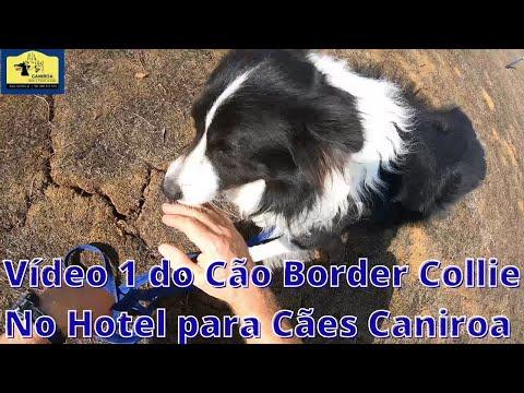 Vídeo do Cão Border Collie no Hotel para Cães Caniroa