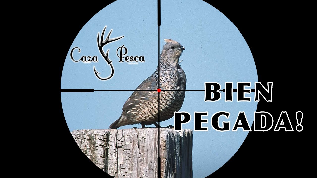 compilacion-caza-de-palomas-y-codorniz-con-pcp