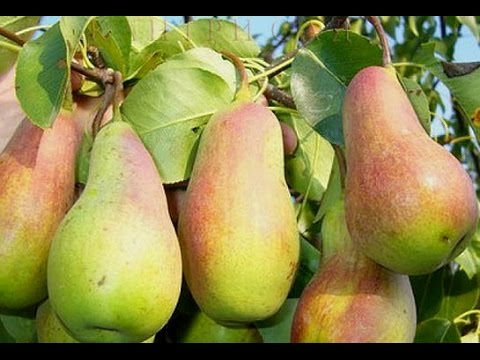 Талгарская красавица - вкусная груша