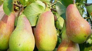 видео Яблоня Болотовское: описание сорта, особенности выращивания, фото