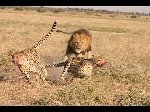 Lion attack Cheetah   Male lion kills 2 cheetahs