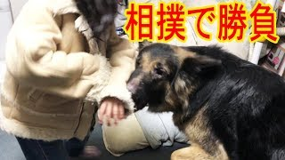 grandchild and #GermanShepherd #シェパード犬 #dog シェパード犬・マ...
