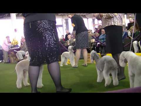 Bedlington Terrier Westminster dog show 2017