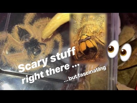 TERRIFIED of Huntsman SPIDERS, but BUYS a new ORANGE one !!! (feat. Jumping Spiders)