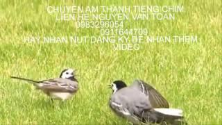 tieng chim chia voi