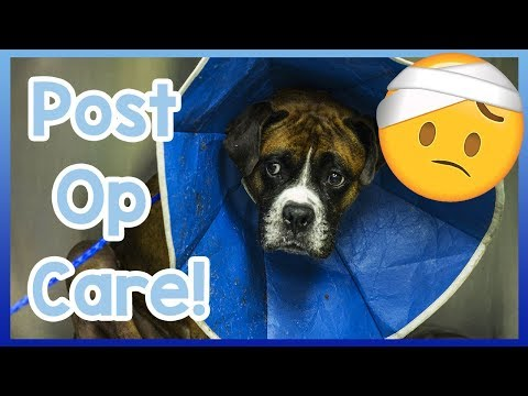how-to-care-for-your-dog-after-surgery!-post-operation-care-tips-for-dogs!